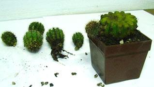 cacti_propagation2.jpg